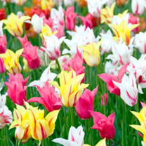 Tulip Bulbs - Lily Flowered Mix