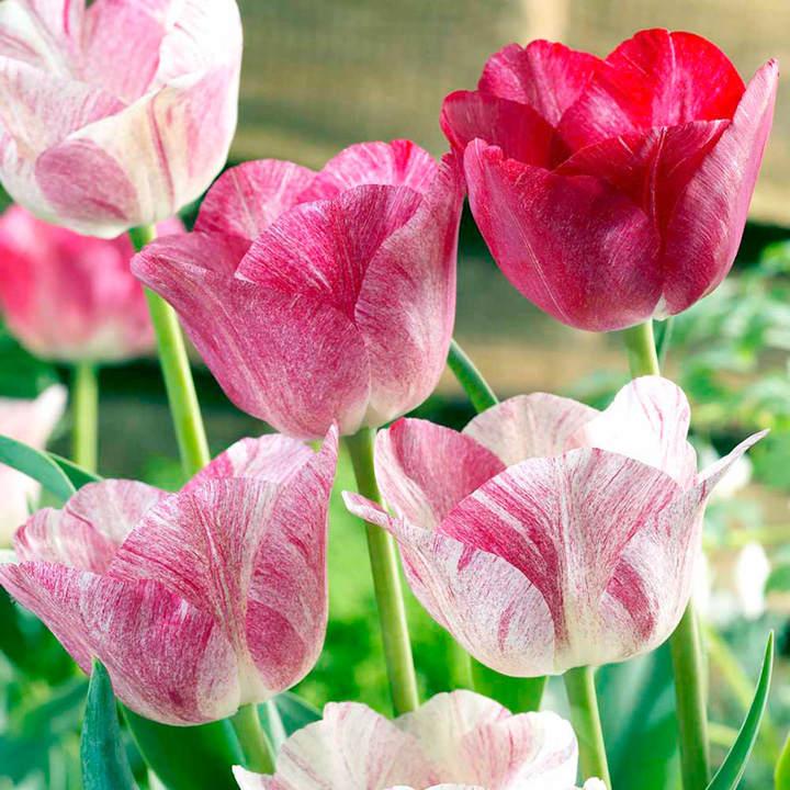 Tulip Bulbs - Hemisphere (Chameleon)