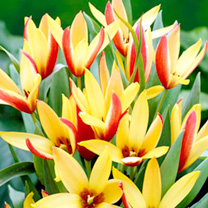 Tulip Bulbs - Cynthia (Species)