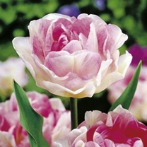 Spring Bulbs - Lucky Dip Offer