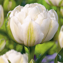 Tulip Bulbs - Mount Tacoma (Double Late)