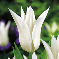 Tulip Bulbs - Tres Chic