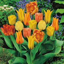 Tulip Bulbs - Orange Collection