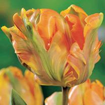 Tulip Bulbs - Irene