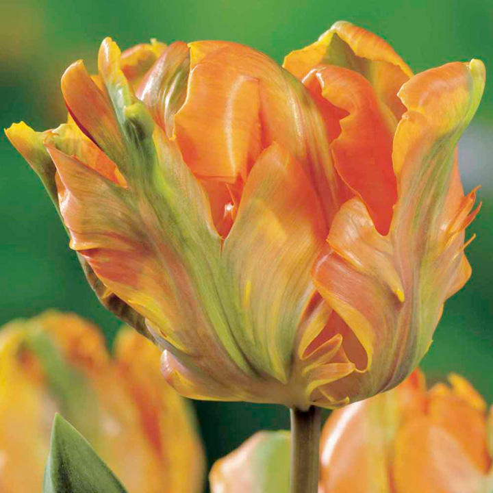 Tulip Bulbs - Irene
