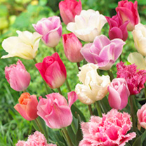 Tulip Bulbs - Pink Collection