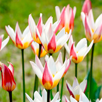 Tulip Bulbs - Ice Stick