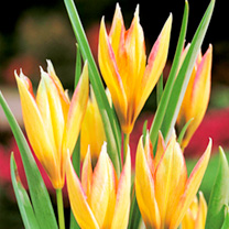 Tulip Plants - Botanical Dwarf Mix