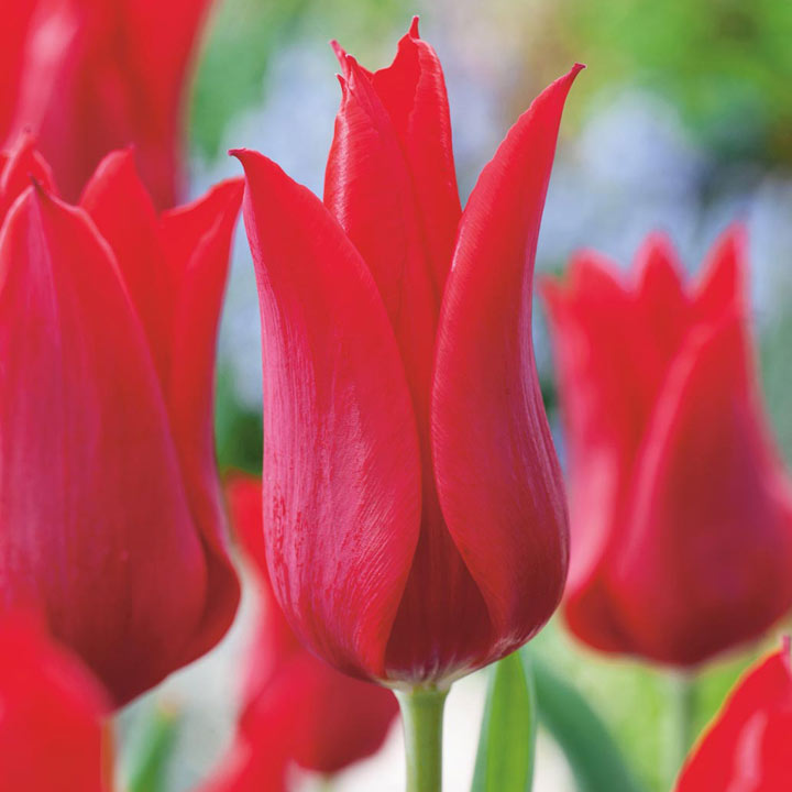Tulip bulbs red collection dobies for Tulipe bulbe