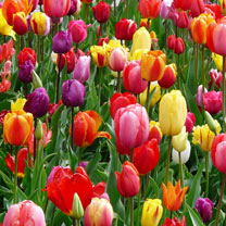 Tulip Bulbs - Mix