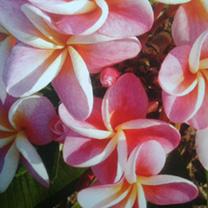 Plumeria Frangipani Plant - LUCKY DIP