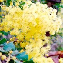 Acacia Plant - Pravissima