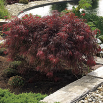 Acer Trees - Collection