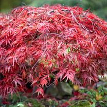 Acer palmatum Plants