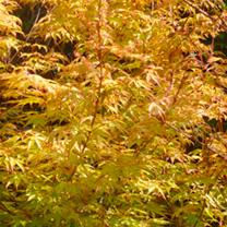 Acer palmatum Plant