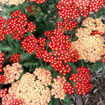 Achillea Plant - Strawberry Seduction