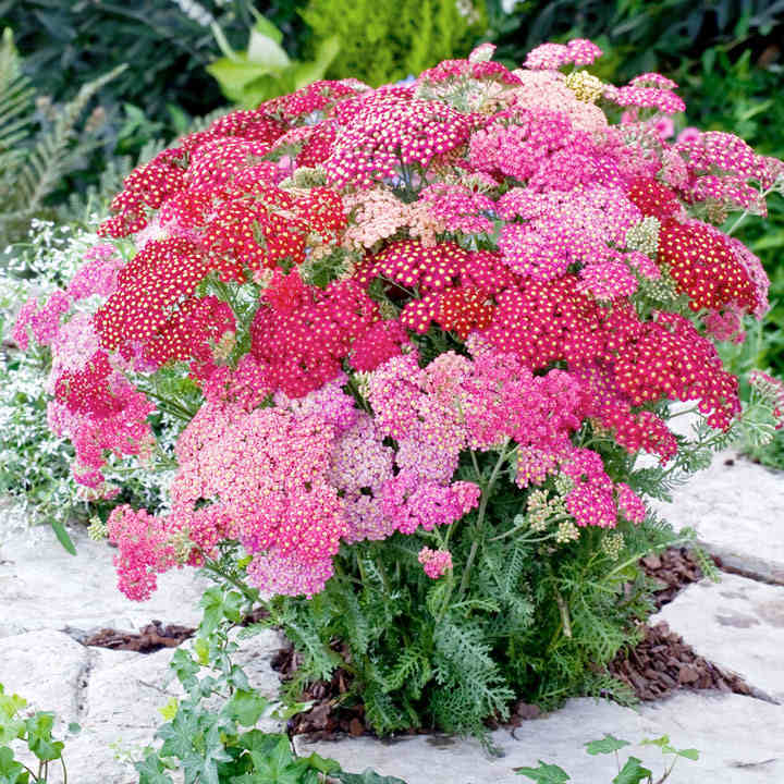 Achillea Plants - Millefolium Summer Pastels