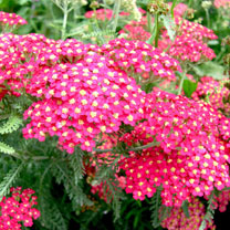 Achillea millefolium Plant - The Beacon