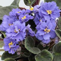 African Violet Plant - Delft