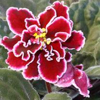 African Violet Plant - Powder Keg