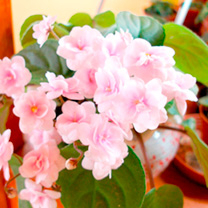 African Violet Plant - Rob's Vanilla Trail