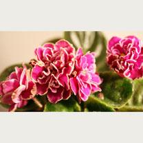 Saintpaulia Plant - Sun Sizzle