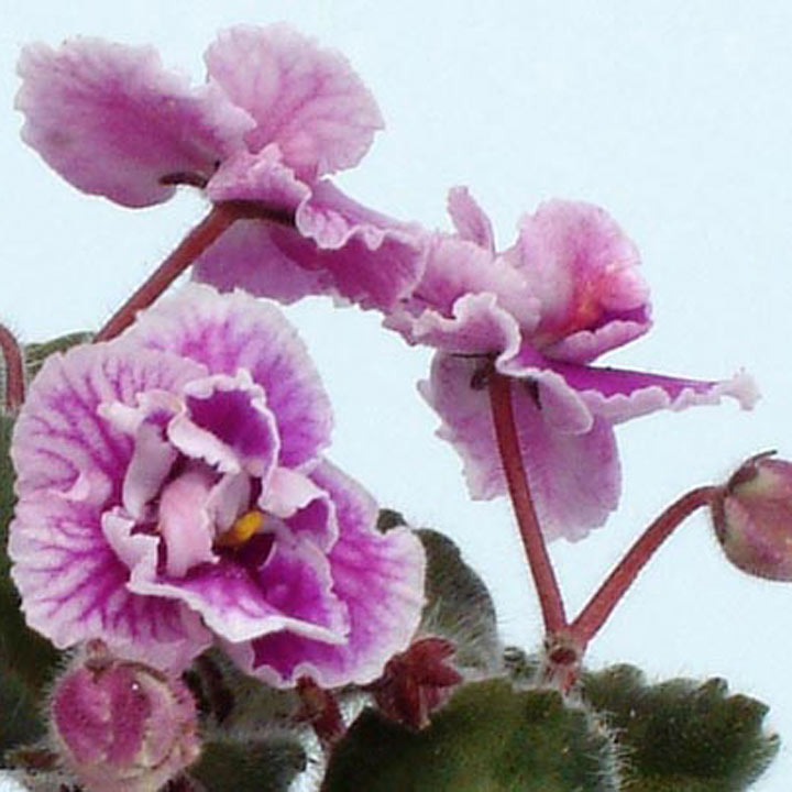 Saintpaulia Plant - Betty Stoehr