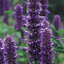 Agastache Plants - Liquorice Blue Offer