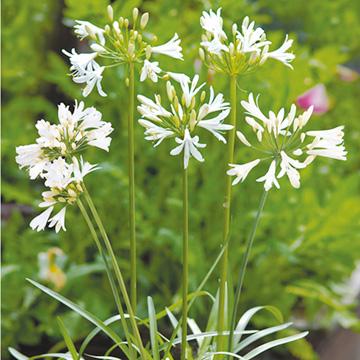 Agapanthus Seeds - Snow White