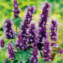Agastache Plant Black Adder