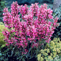 Agastache Plant - Red Fortune