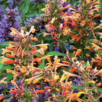 Agastache Plant - Summer Sunset