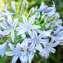 Agapanthus Plant - Wembworthy