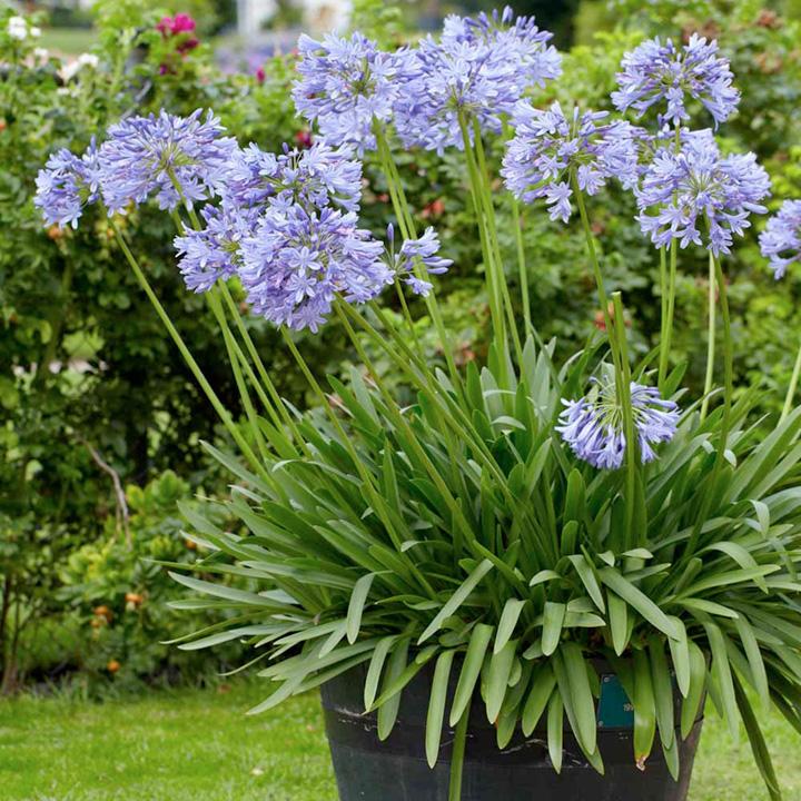 Agapanthus Plant - Brilliant Blue