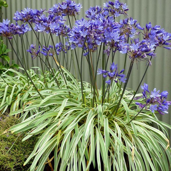 Agapanthus Plant - Goldstrike
