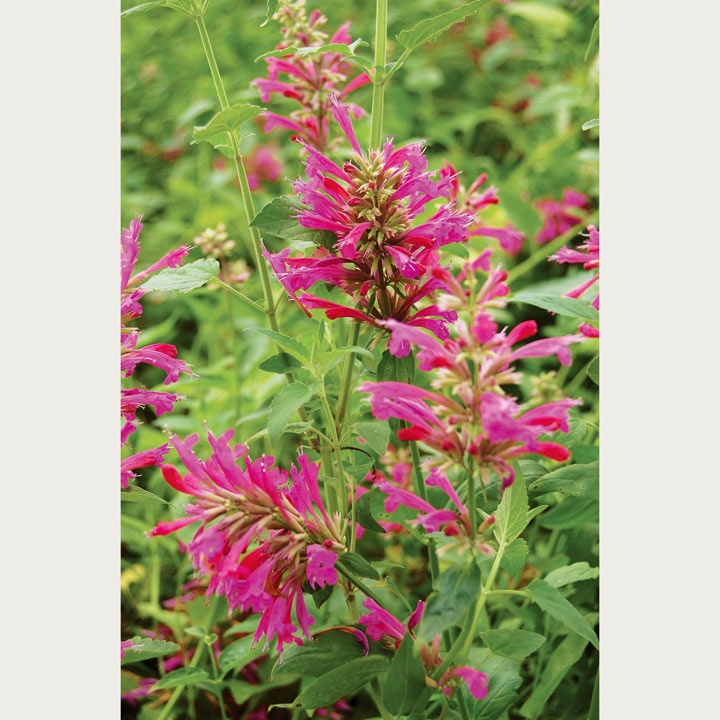 Agastache Plants -  Heatwave