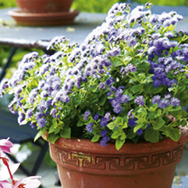 Ageratum Plants - F1 Blue Haze