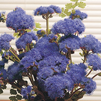 Ageratum Seeds - Blue Horizon F1