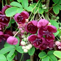 Akebia quinata Plant