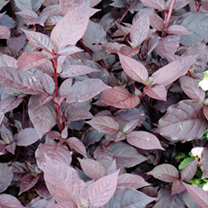 Alternanthera Purple Knight Seeds