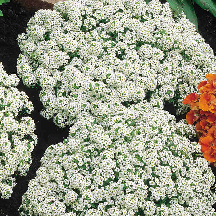 Alyssum Seeds - Carpet of Snow