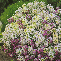 Alyssum Seeds - Rally Formula Mixed