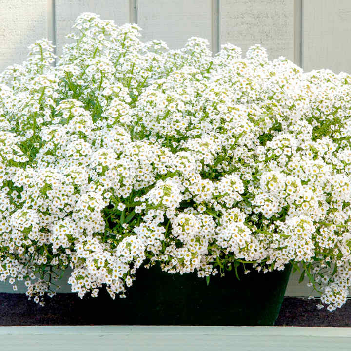 Alyssum Plants - North Face