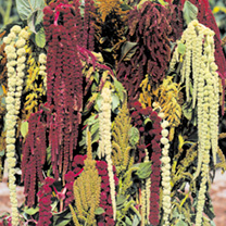 Amaranthus Seeds - Magic Fountains