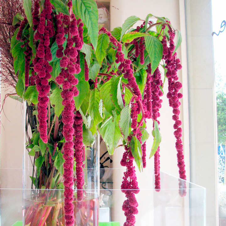 Amaranthus Seeds - Crimson Fountains Mixed
