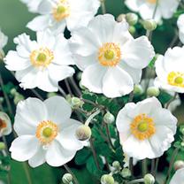 Anemone Plant - Honorine Jobert