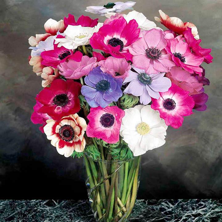 Anemone Seeds - Mona Lisa Mixed