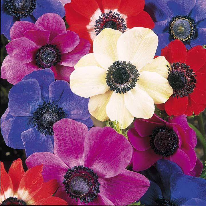 Anemone Bulbs - de Caen Mix