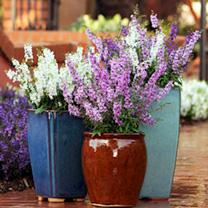 Angelonia Plants - Serena Mix