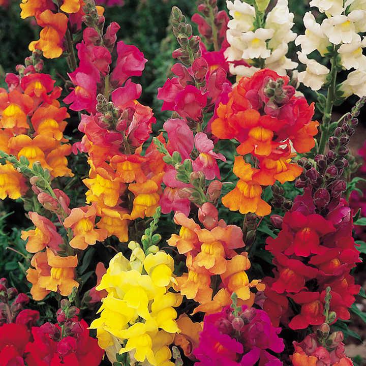 Antirrhinum Seeds - Dobies Giant-Flowered Mixed